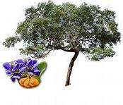 гваяковое дерево