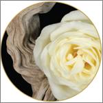 rose&white_oud